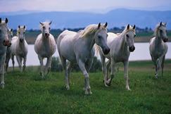 Arabian Horses Walking in Pasture
